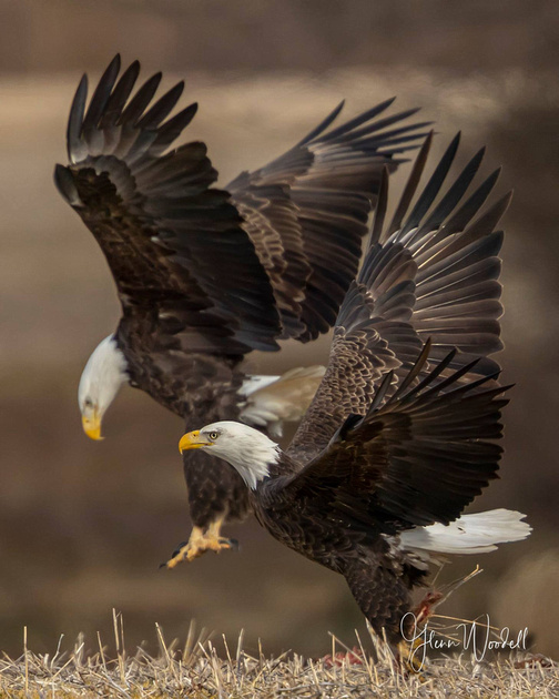 eagles with stacked extenders