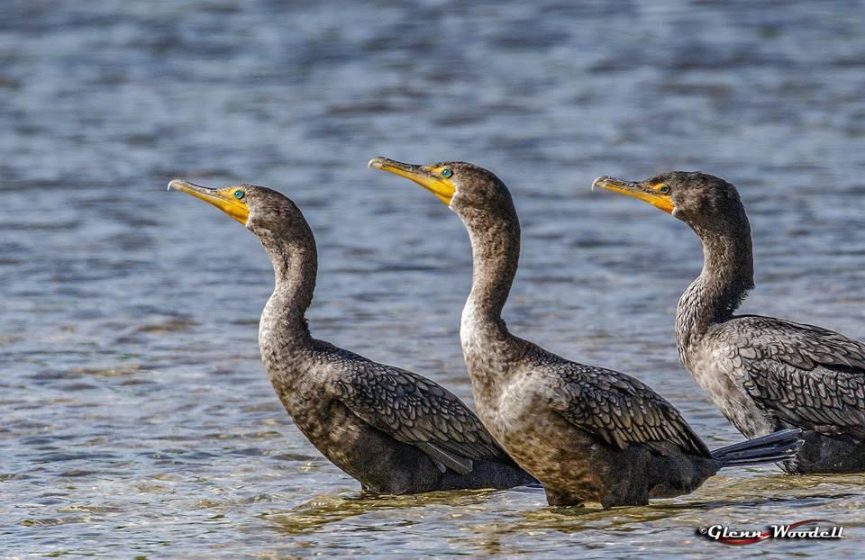 4-cormorants-at-2x
