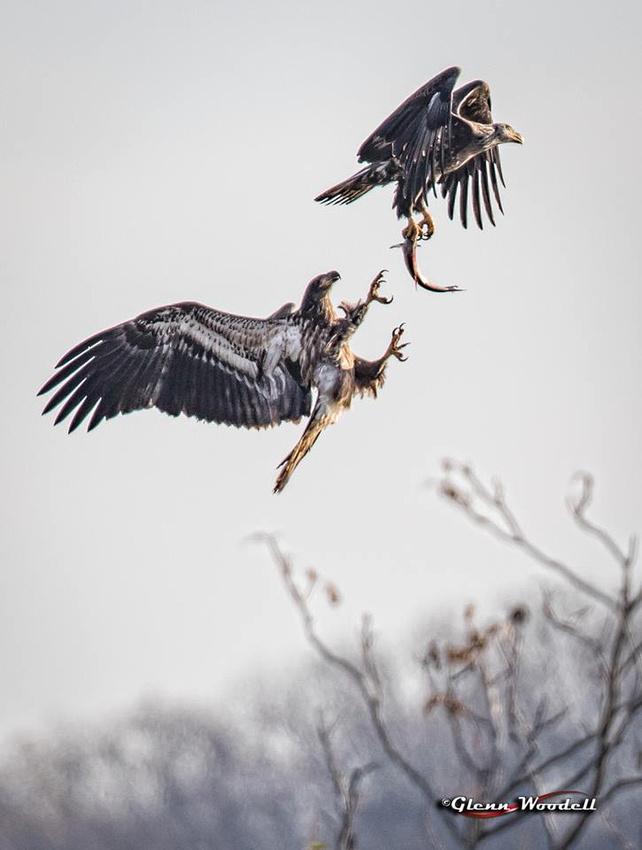 2-conowingo-eagle-fight